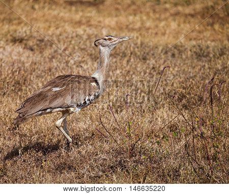 secretary bird walking on wild grass. The secretarybird or secretary bird (Sagittarius serpentarius) is a very large mostly terrestrial bird of prey. Endemic to Africa.