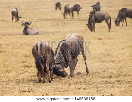 wildebeest fight among themselves. Image blur because fought fiercely. nature wildlife.