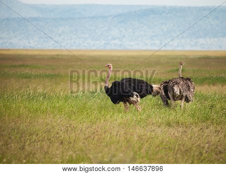 The ostrich or common ostrich (Struthio camelus) is either one or two species of large flightless birds native to Africa. ostrich family in wildlife.