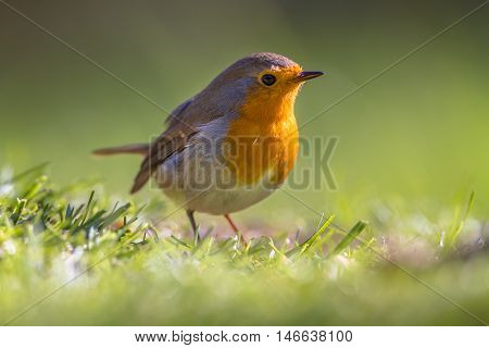 Robin In A Grass Field