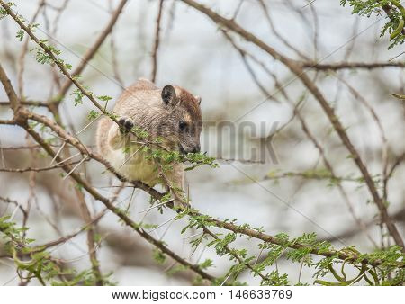 rock hyrax (Procavia capensis) or rock badger also called the Cape hyrax and commonly referred to in South African English as the dassie