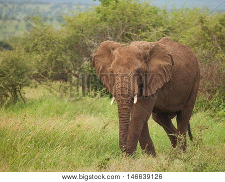 One species of African elephant the bush elephant is the largest living terrestrial animal while the forest elephant is the third largest.