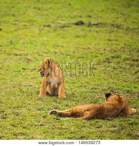 young lion in wildlife. lion (Panthera leo) is one of the big cats in the genus Panthera and a member of the family Felidae.