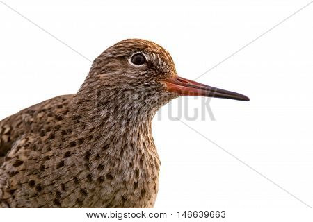 Head Common Redshank Clipping Path