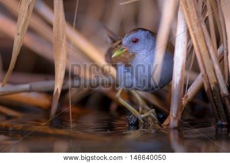 Little Crake Peeking