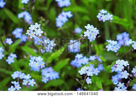 Forget-Me-Not Blue Flowers In Spring Garden Closeup