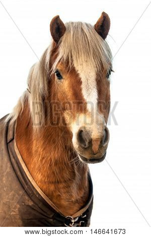 Head Of A Brown Horse Looking In The Camera On White Background.