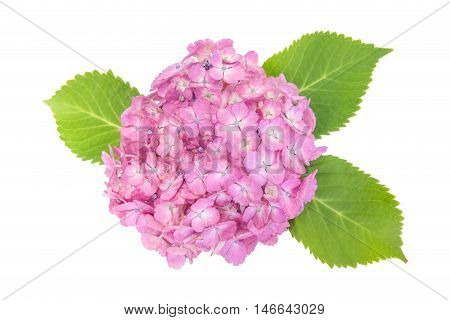 Pink Hydrangea macrophylla flower isolated on white background