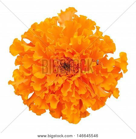 Beautiful orange marigold flower isolated on white background. Bright orange tagetes, African marigolds on white