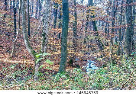 A beautiful pine forest. Carpathian Mountains Ukraine
