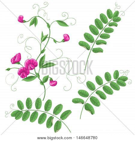 Garden Vetch flowers and leaves isolated on white background. Simplified floral elements set for decoration.
