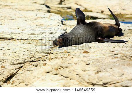 Wild Seal At Seal Colony Coastal In Kaikoura, New Zealand