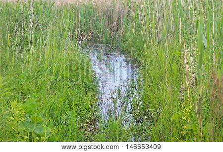 Marshland with green reeds in a water