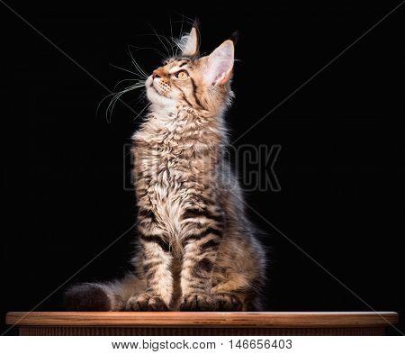 Portrait of domestic black tabby mackerel Maine Coon kitten - 3,5 months old. Cat on black background.