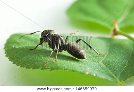Big Ant On Leaf