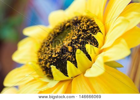 Sunflower fraudulently used for decoration in ceremonies.