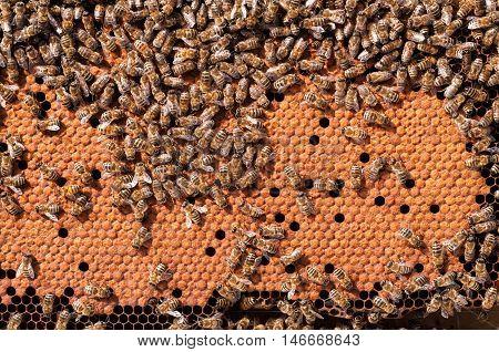 Bees Broods, working bee larvae heated on honeycomb.