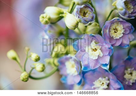 Close up view of the purple flowers of ornamental plant Delphinium