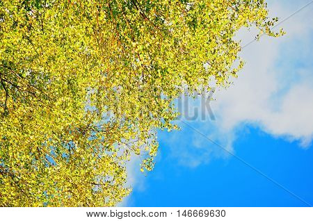 Autumn background - yellowed birch autumn leaves against blue sky. Autumn nature with free space for text. Autumn birch branches on the background of the blue autumn sky in sunny autumn weather.