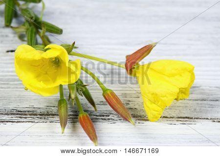 Evening primrose lat. Oenothera biennis flower in detail on the wooden board