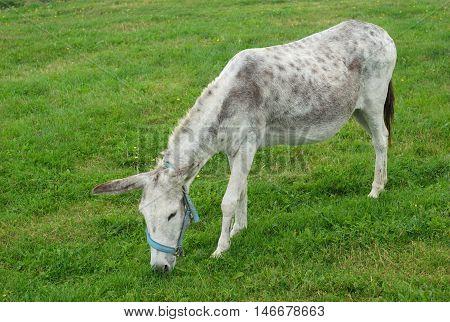 jackass donkey grazing in green field full view