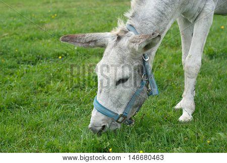 jackass donkey head grazing in a field