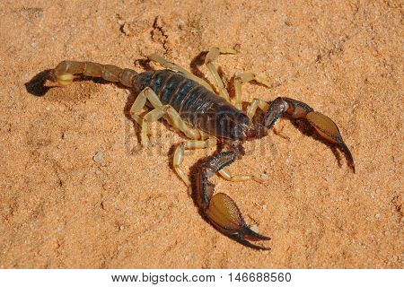 A poisonous scorpion (Parabuthus spp.), Kalahari desert, South Africa