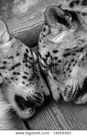 Snow leopards sleeping.
