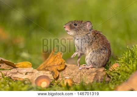 Bank Vole In Natural Autumn Habitat