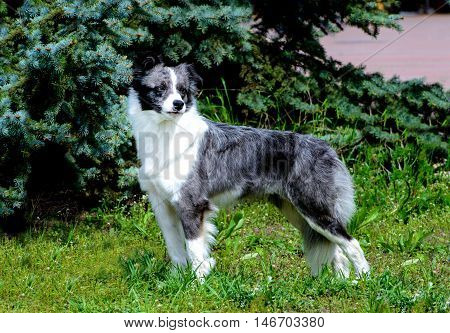 Border Collie looks. The Border Collie is on the grass in the park.