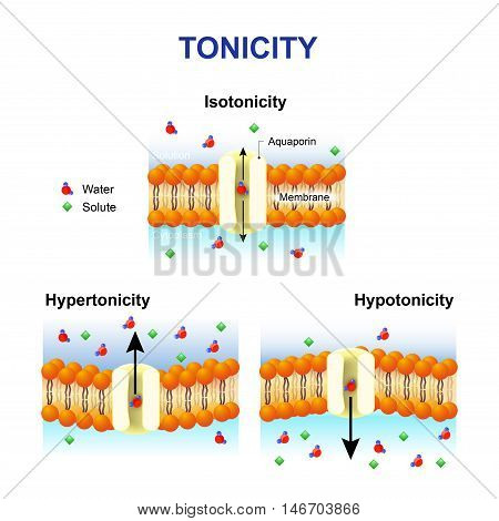 Tonicity and osmosis. Cell membrane and aquaporin. Effect of different solutions on cell. Isotonic Hypotonic and Hypertonic. This diagram shows the effects of hypertonic hypotonic and istonic solutions to red blood cells.