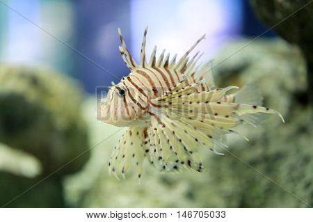 Tropical Devil firefish or Lionfish the name common are swimming in Asia sea Aquarium.