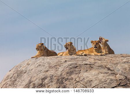 Lion family on the rock. Relax and looked sleepy in wildlife.