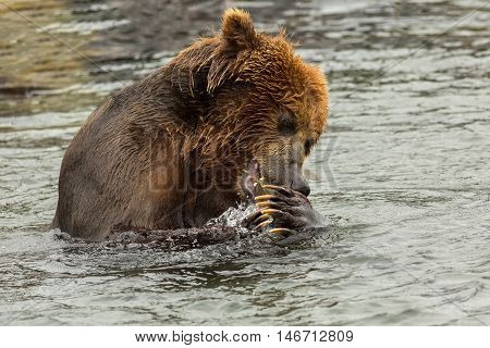 Brown bear eating fish caught in Kurile Lake. Southern Kamchatka Wildlife Refuge in Russia. poster