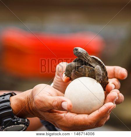 Galapagos giant tortoise in Galapagos Islands. baby