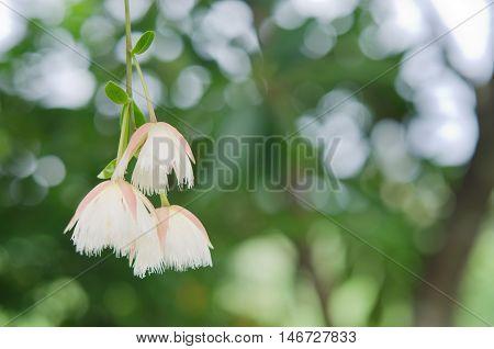 Elaeocarpus Hainanensis Or Elaeocarpus Grandifloras Flower On The Tree With Bokeh Background