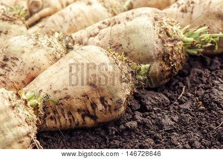 Harvested sugar beet crop root on the ground selective focus