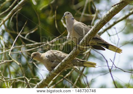 Collared doves ( Streptopelia decaocto ) perched in a tree in Aveiro District Portugal