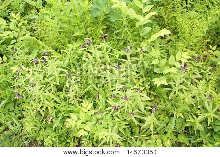 Wildflower [fritillaria] And Underbrush,