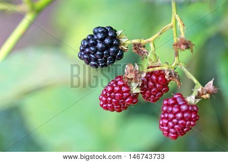 Blackberry in the garden growing on a bush