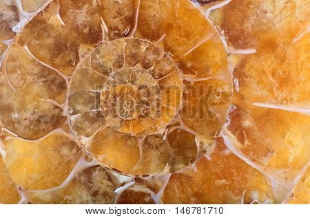 yellow ammonite spiral macro photo