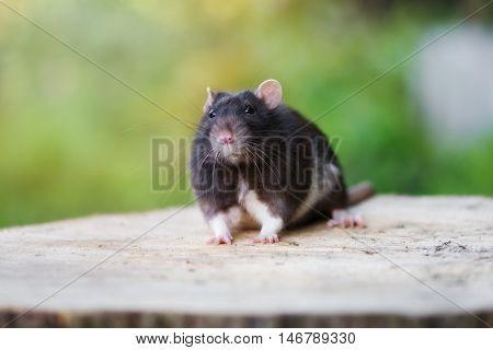 black pet rat posing outdoors in summer