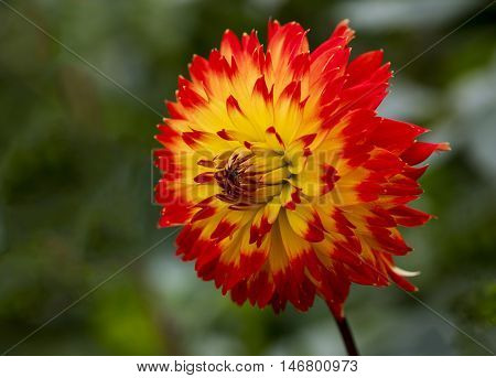 View of a red and yellow Dahlia on a blurred background