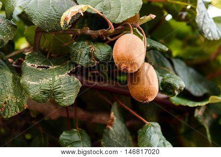 Closeup of Fresh kiwi fruit on green kiwi tree. Ripe Actinidia deliciosa on green vines waiting for harvest.