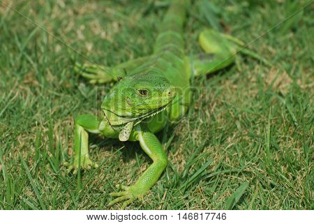 Green iguana stretched out in lush green grass.