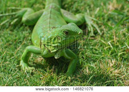 A green iguana creeping through green grass.