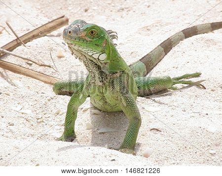 Green iguana on a sandy beach in Aruba.