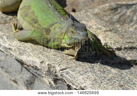 Green iguana stretched out in the sunshine.