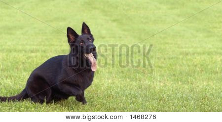 Police Working Dog