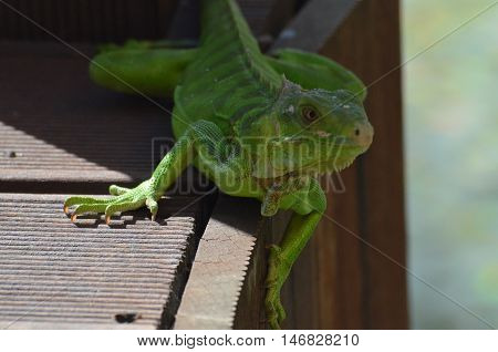 A green iguana perched on the side of a bridge.